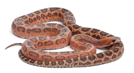 Scaleless Corn Snake, Pantherophis Guttatus