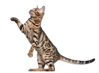 Fototapete - Bengal kitten, 5 months old, in front of white background