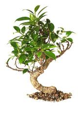Bonsai tree isolated on white