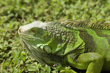 Green Igauna 2