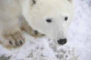 Fond de hotte en verre imprimé Sheep Portrait of a polar bear.
