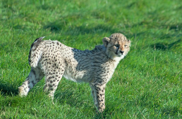 Wall Mural - Cheetah (A. Jubatus) stands in the grass