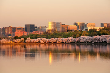 Skyscrapers of Rosslyn, VA with cherry blossom in sunrise