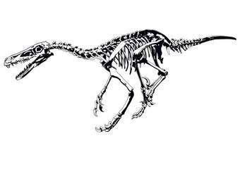 dinosaur skeleton raptor