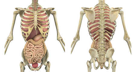Torso Skeleton with Internal Organs - Front and Back