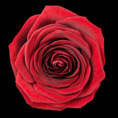 Red Rose Flowerhead Isolated on Black