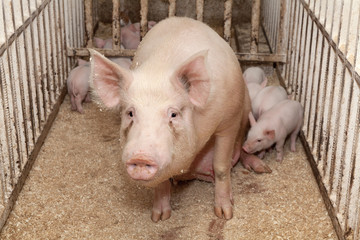 Свиньи на свиноферме.