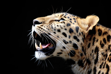 Amazing leopard on black background