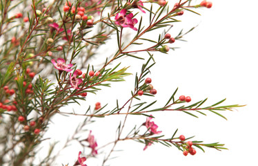 dark pink Chamelaucium (waxflower),