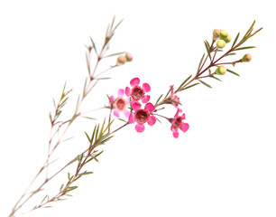 single small branch of dark pink Chamelaucium (waxflower)