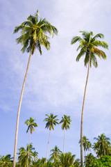 Coconut Palm Trees Grove