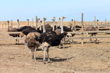 At ostrich farm