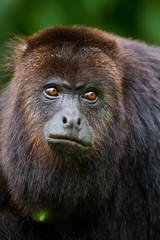 Howler monkey in the wild