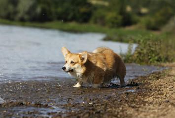 welsh corgi joue les super prédateurs