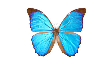 Black and blue butterfly Morpho menelaus isolated