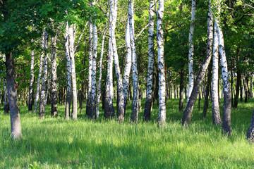 Spoed Foto op Canvas Berkbosje Birchwood shined with the sun