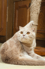 Scottish Fold Purebred Red Cat