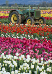 Tractor in Tulips