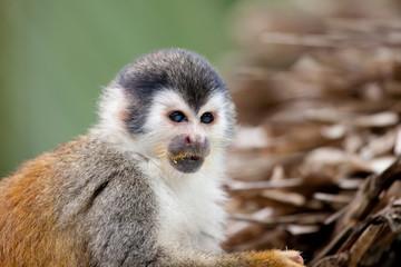 Eating squirrel monkey