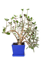 houseplant crassula in blue flowerpot, isolated