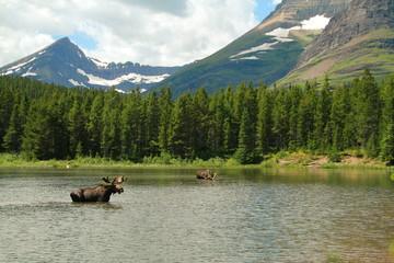 Feeding Moose