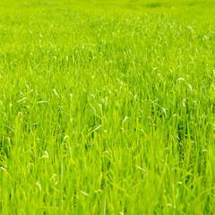 Green wheat background