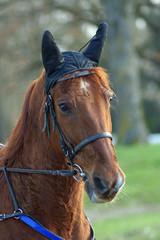 cheval de course de trot attelé