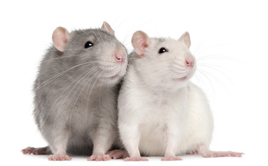 Fototapete - Two rats, 12 months old, in front of white background