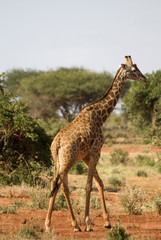 Giraffe, Tsavo East National Park