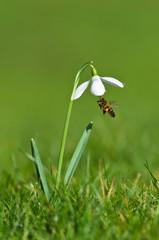 Snowdrop and Honey Bee