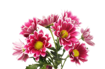 Chrysanthemum flower isolated on white background