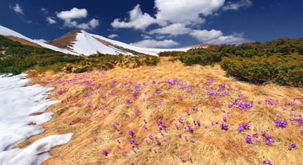Spring landscape in the mountains with field of blossom crocuses