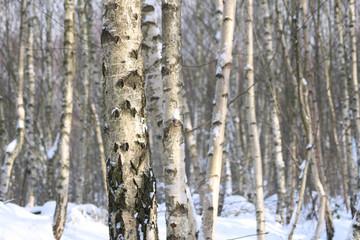 Keuken foto achterwand Berkbosje birkenwald