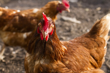 Two hen