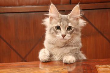 jeune chat angora turc curieux