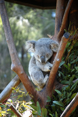 Canvas Prints Koala asleep in a tree