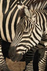 Aluminium Prints Zebra