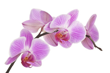 Spoed Foto op Canvas Orchidee Orchidee (light pink) #4