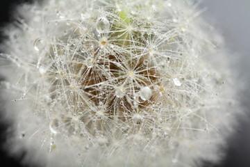 Fotorolgordijn Paardebloemen en water Head of dandelion, macro