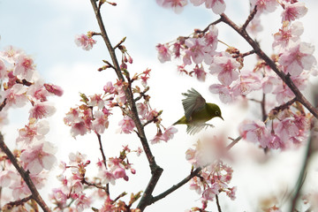 Zosterops on Cherry blossoms