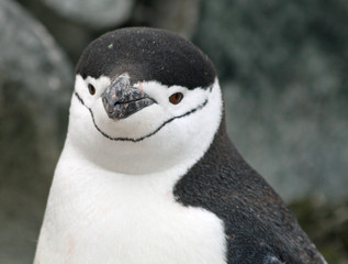 Chinstrap penguin 15