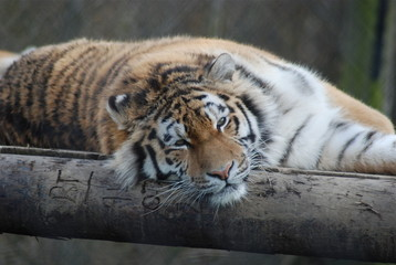 Lazing Tiger
