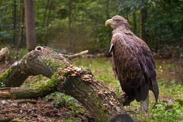 White tailed eagle on the branch