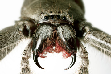 Spider, Huntsman, Holconia immanis, Large Australian spider with