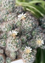Цветение кактуса маммилярия.