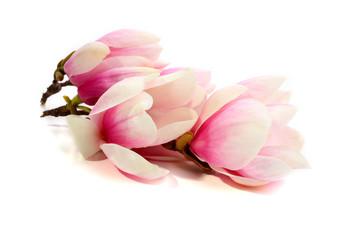 composition of magnolia