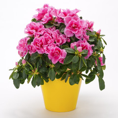 Spoed Foto op Canvas Azalea Blooming pink azalea in a yellow pot