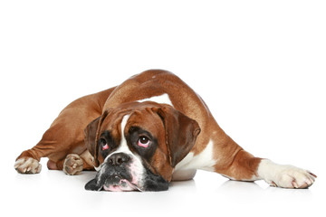 Wall Mural - Boxer dog sad, lying on a white background