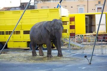 Elefante nel circo
