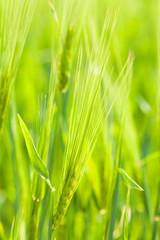 Ripe ears of wheat close-up